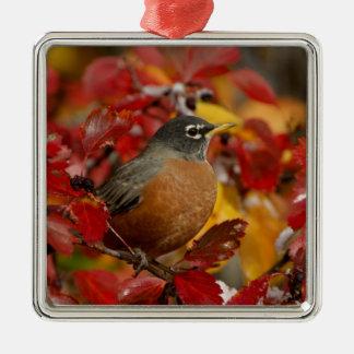 Male American Robin in Black Hawthorn 2 Christmas Ornament