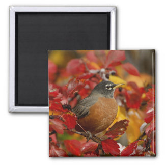Male American Robin in Black Hawthorn 2 Magnet