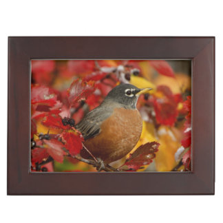 Male American Robin in Black Hawthorn 2 Memory Box