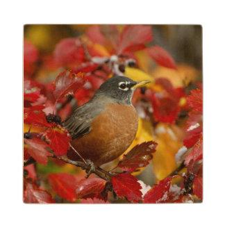 Male American Robin in Black Hawthorn 2 Wood Coaster