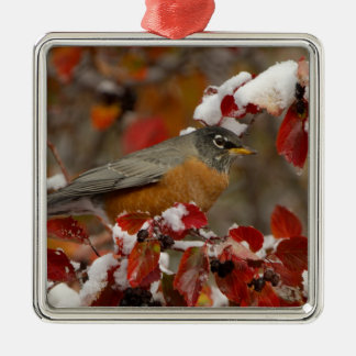 Male American Robin in Black Hawthorn Christmas Ornament