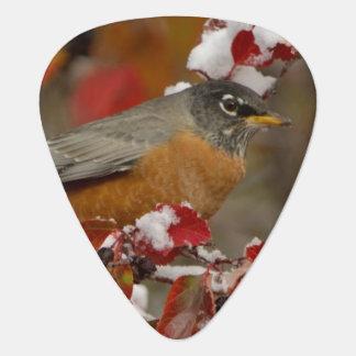 Male American Robin in Black Hawthorn Plectrum