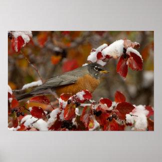 Male American Robin in Black Hawthorn Poster