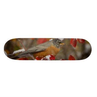 Male American Robin in Black Hawthorn Skateboards
