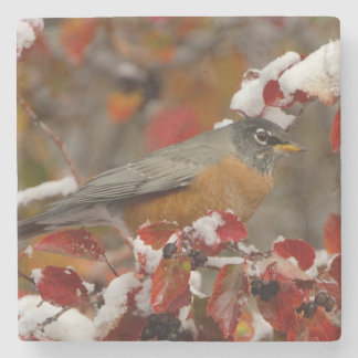 Male American Robin in Black Hawthorn Stone Coaster