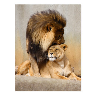 Male and Female Lion in Love Postcard