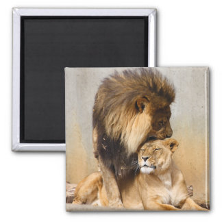 Male and Female Lion in Love Square Magnet