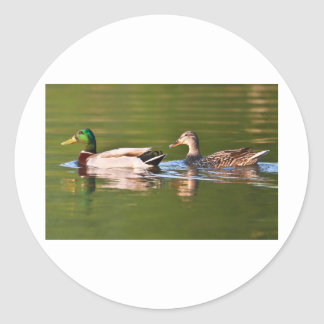 Male and Female Mallard Ducks Swimming Classic Round Sticker