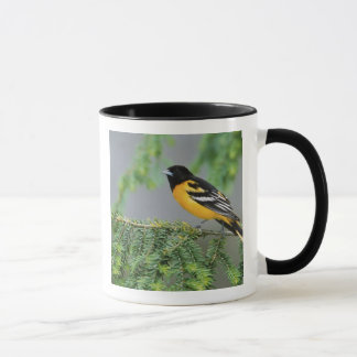 Male Baltimore Oriole, Icterus galbula, Male Mug
