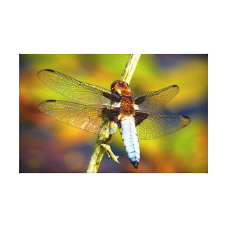 Male Broad-Bodied Chaser Dragonfly Canvas Prints