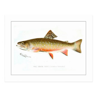 Male Brook Trout Postcard