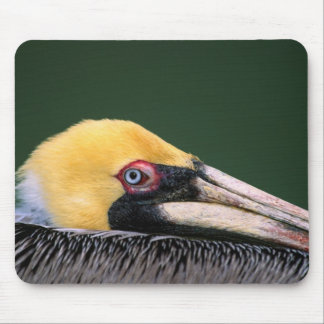 Male Brown Pelican (Pelecanus occidentalis) in Mouse Pad