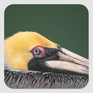 Male Brown Pelican (Pelecanus occidentalis) in Square Sticker