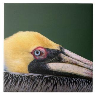 Male Brown Pelican (Pelecanus occidentalis) in Large Square Tile