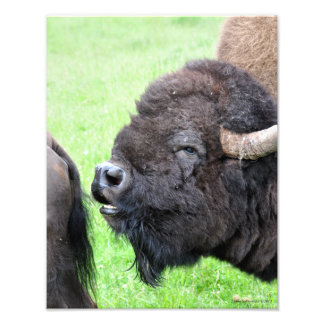 Male Bull Bison - Buffalo Photographic Print