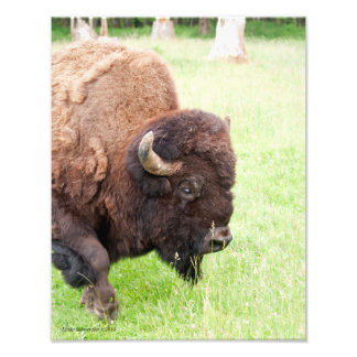 Male Bull Bison Photo