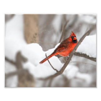 Male Cardinal in the Snow Photographic Print
