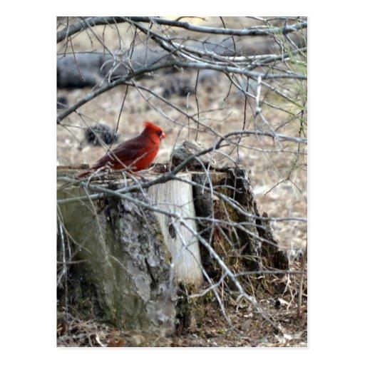 Male Cardinal on Tree Stump Postcard