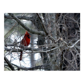 Male Cardinal Watch Guard Post Card