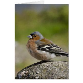 Male Chaffinch (WILD: Fringilla coelebs) Card