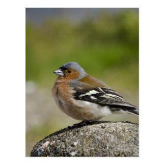 Male Chaffinch (WILD: Fringilla coelebs) Postcard