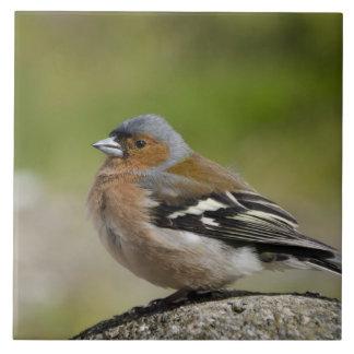 Male Chaffinch (WILD: Fringilla coelebs) Tile
