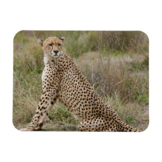 male Cheetah, Acinonyx jubatus, Serengeti, Magnet