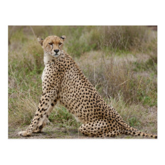 male Cheetah, Acinonyx jubatus, Serengeti, Postcard