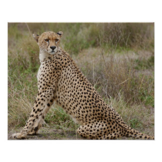 male Cheetah, Acinonyx jubatus, Serengeti, Poster