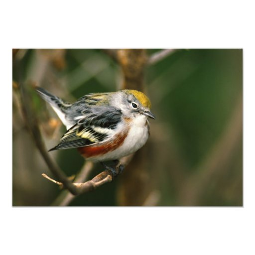 Male Chestnut-sided Warbler, Dendroica Photo Art