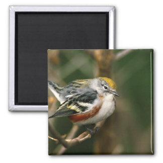 Male Chestnut-sided Warbler, Dendroica Square Magnet