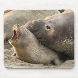 Male elephant seal gives love bite to female mouse mat