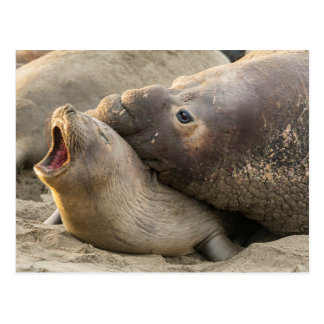 Male elephant seal gives love bite to female postcard