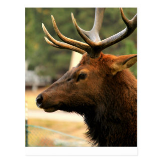 Male Elk Postcard