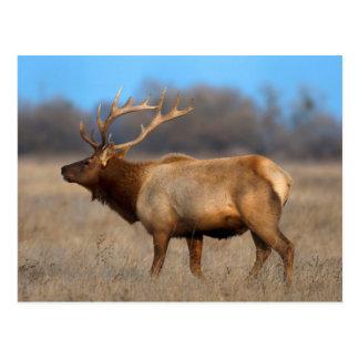 Male elk profile in autumn postcard