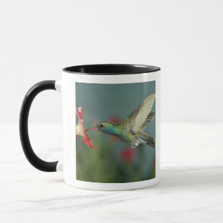 male feeding on Petunia, Madera Canyon, Arizona, Mug