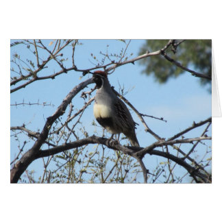 Male Gambel's Quail Note Card