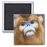 Male Golden Monkey Pygathrix roxellana, portrait Square Magnet