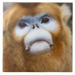 Male Golden Monkey Pygathrix roxellana, portrait Large Square Tile