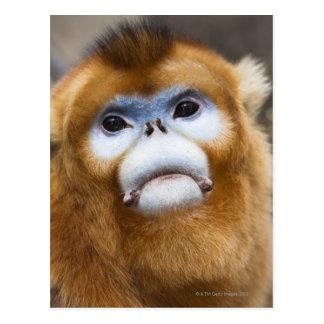 Male Golden Monkey Pygathrix roxellana Postcards