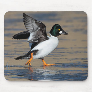 Male Goldeneye flapping on ice Mouse Pad