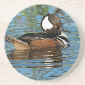 Male Hooded merganser with crest raised Coaster
