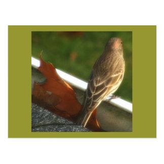 Male House Finch Postcard