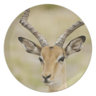 Male impala with beautiful horns in soft light plate