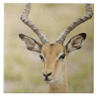 Male impala with beautiful horns in soft light tile