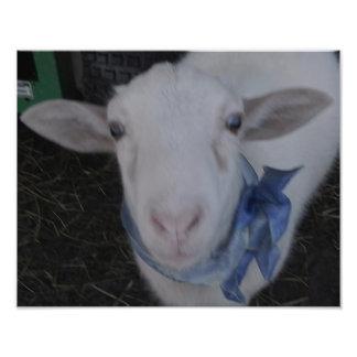 Male lamb photo print