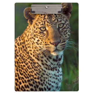 Male Leopard (Panthera Pardus) Full-Grown Cub Clipboard