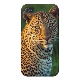 Male Leopard (Panthera Pardus) Full-Grown Cub iPhone 4 Cover
