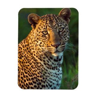 Male Leopard (Panthera Pardus) Full-Grown Cub Magnets