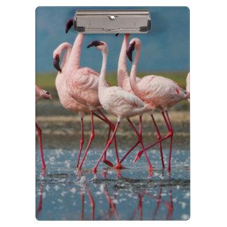 Male Lesser Flamingos (Phoenicopterus Minor) Clipboard